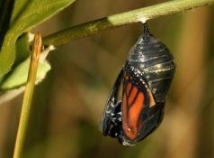 Жизненный цикл бабочек (метаморфоз) : развитие бабочки