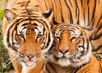 Тигр — одинокий охотник. Виды тигров
