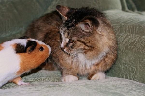 Морская свинка и кот в одной квартире