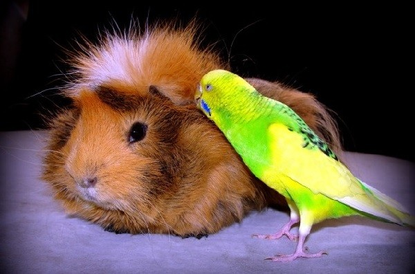 Морская свинка и попугай в доме