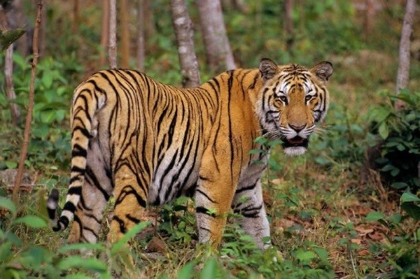тигр виды