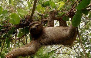Ленивец висит на ветке