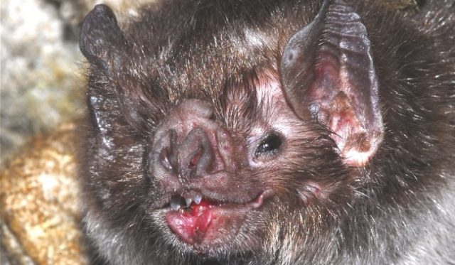 Летучая мышь - Обыкновенный вампир