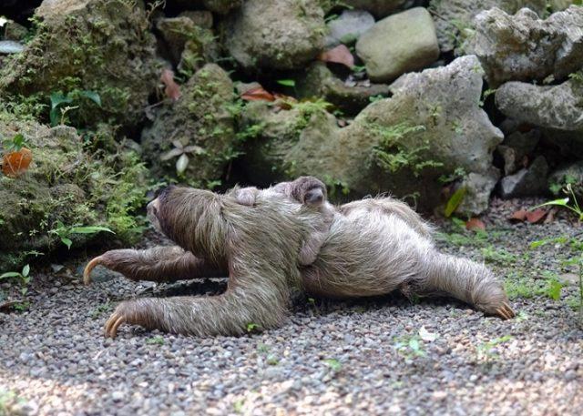 Ленивец ползет с детенышем на спине