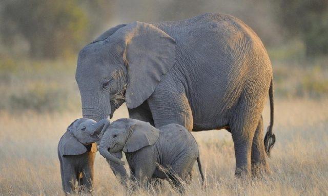 Слониха и два слоненка