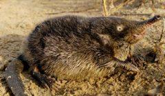 Выхухоль: фото, описание реликтового животного