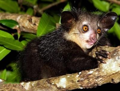 Руконожка (ай-ай) - причудливый зверек Мадагаскара