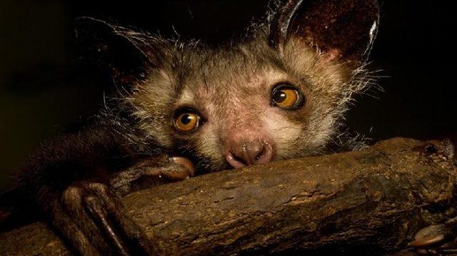 Мадагаскарская руконожка занесена в Красную книгу