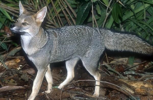 Бразильская лисица