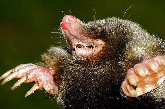 Животное крот- описание, виды, опасность для человека