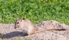 Песчанки — особенности семейства
