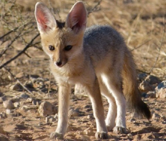 Южноафриканская лисица