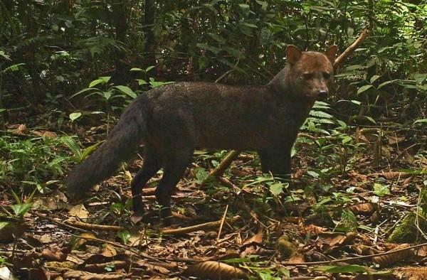 Короткоухая лисица