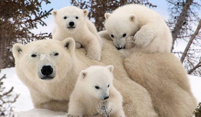 Белая медведица с тремя медвежатами