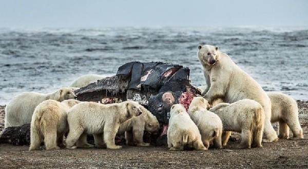 Полярные медведи возле китовой туши