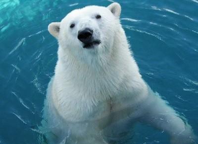 Про белого медведя