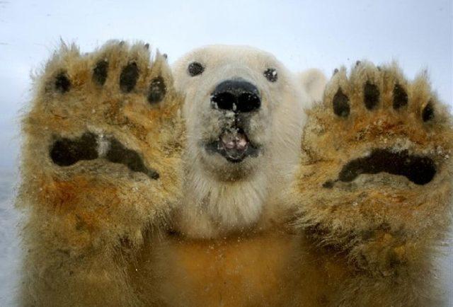 Как охотятся белые медведи
