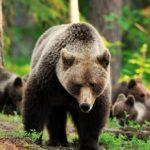 Какие виды медведей существуют