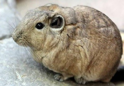 Гунди – грызун Северной Африки
