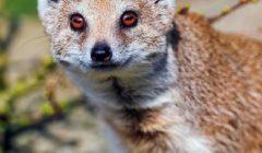 Мангусты — фото, описание, образ жизни в природе