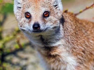 Мангусты - фото, описание, образ жизни в природе