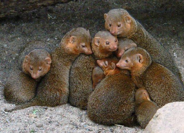 Семья мангустов