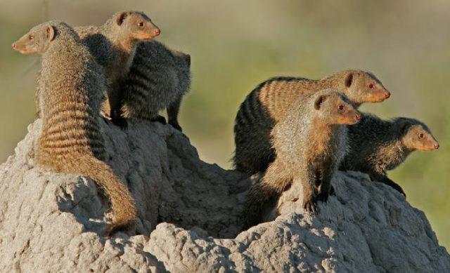 Где обитает животное мангуст