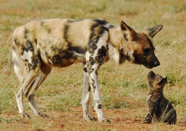 Семейная жизнь гиеновых собак