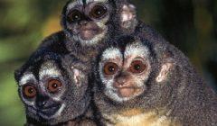 Мирикины — ночные обезьяны