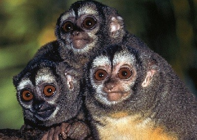 Мирикины - ночные обезьяны