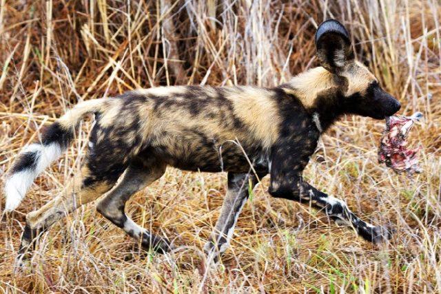 Внешность гиеновой собаки