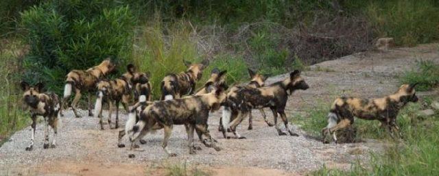 Стая гиеновых собак