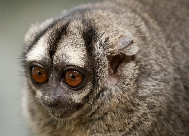 Ночная обезьяна (мирикина)
