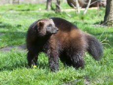 Росомаха – фото, описание и образ жизни животного
