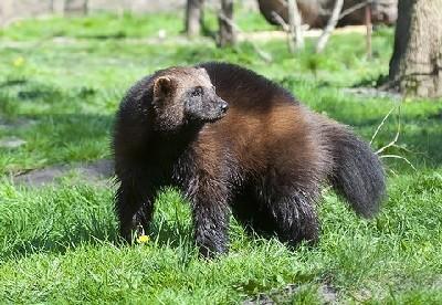 Росомаха — фото, описание и образ жизни животного