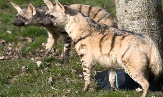 Земляные волки моногамны