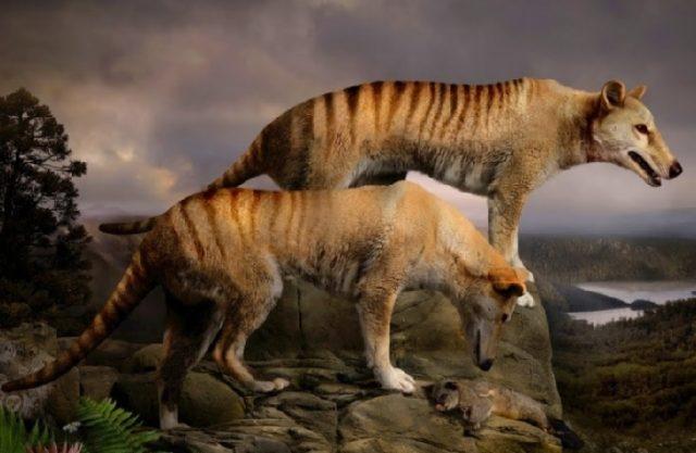 Сумчатый волк (тилацин)