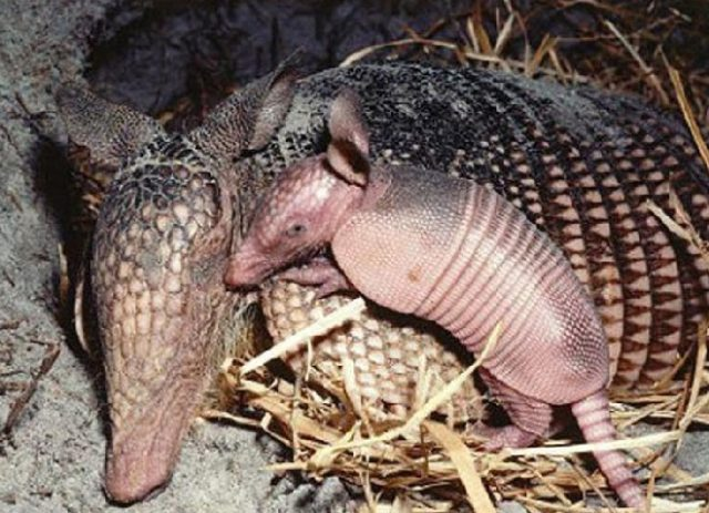 Броненосцы - мать и детеныш