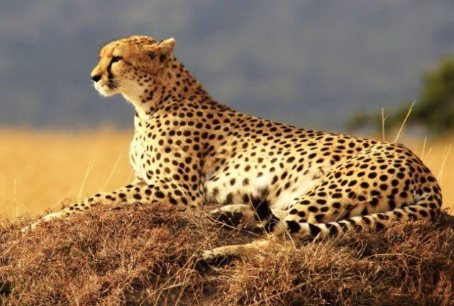 Хищник пустыни - гепард