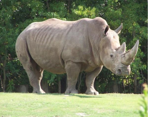Одно из самых опасных животных - носорог