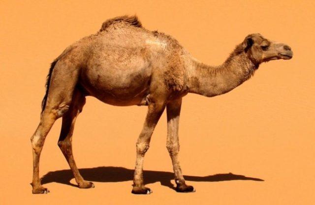Привычное животное пустыни - одногорбый верблюд