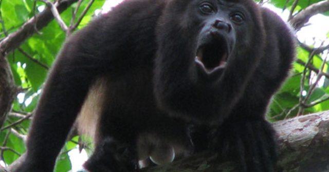 громкоголосая обезьяна