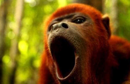 Ревун - самая шумная обезьяна