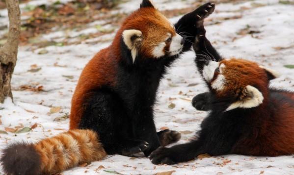 Малая панда - исчезающий вид