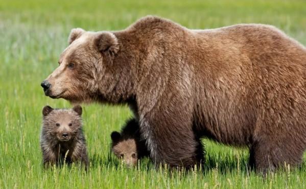 Как выглядит бурый медведь