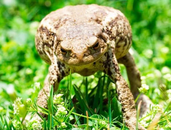 Враги обыкновенной (серой) жабы