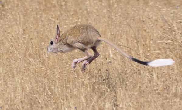 Тушканчики прыгают оченб далеко и быстро