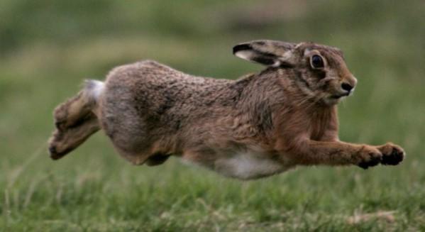 Зайцы - чемпионы по бегу