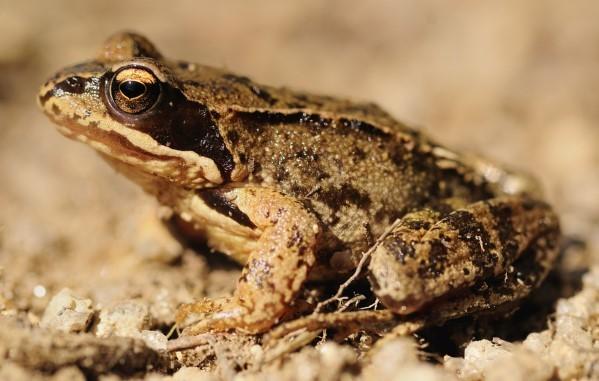Описание травяной лягушки - как выглядит амфибия