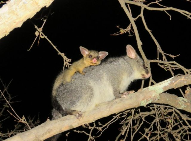 Детенныш лисевого кузу на спине матери